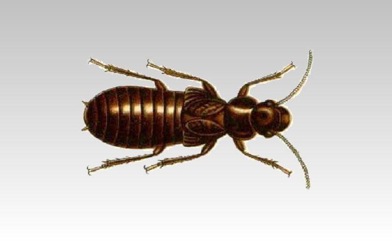 mastotermes darwiniensis great northern termite image