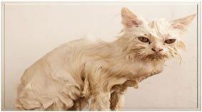 Fleas Cat
