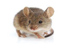 Rodents & Rats