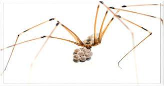 Örümcek Yumurtaları