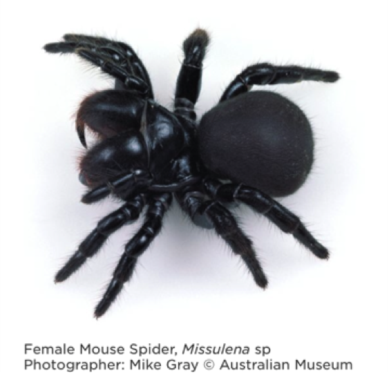 mouse spider 2 image