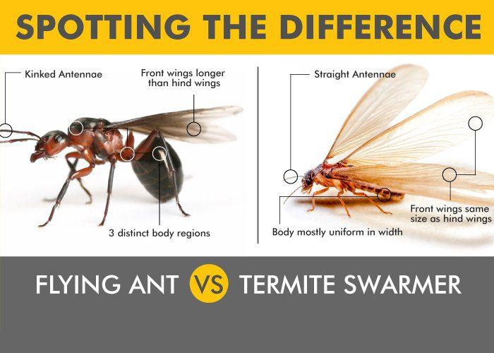 termite vs ant image