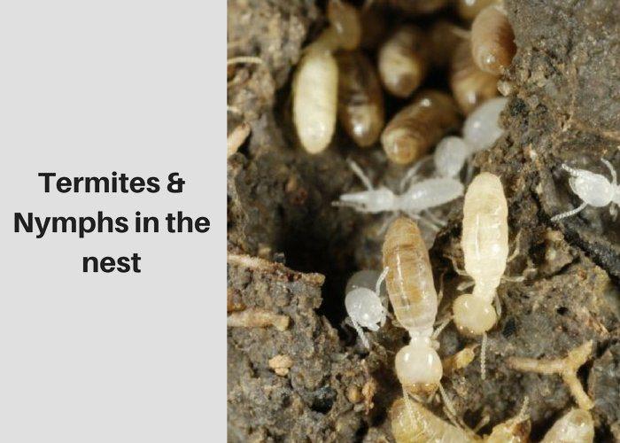 termites nymphs nest image