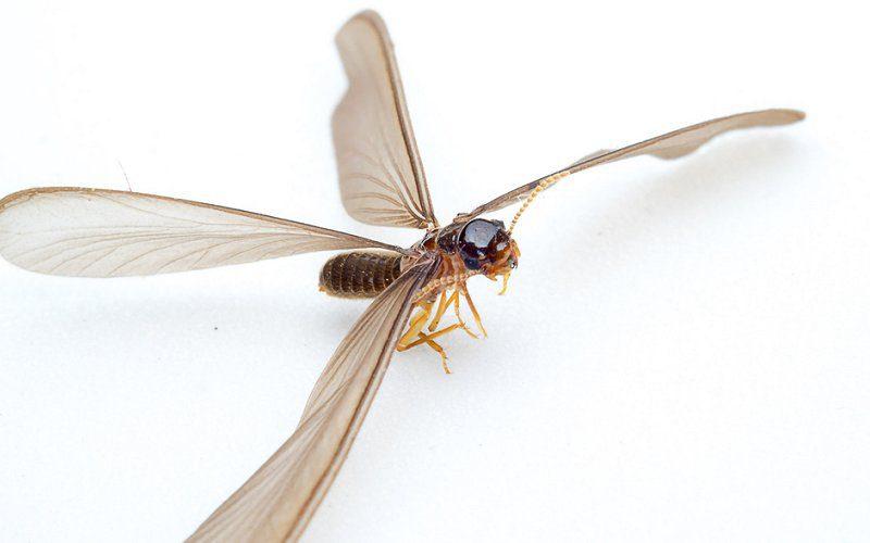 flying termite looks like image