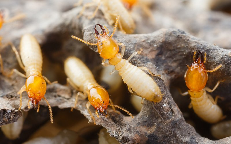 How to Get Rid of Subterranean Termites How to Get Rid of Subterranean Termites new images
