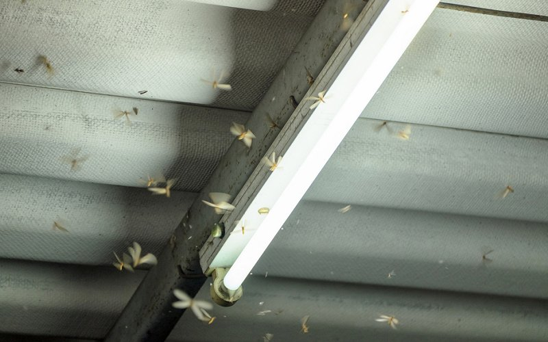 winged termite swarmers image