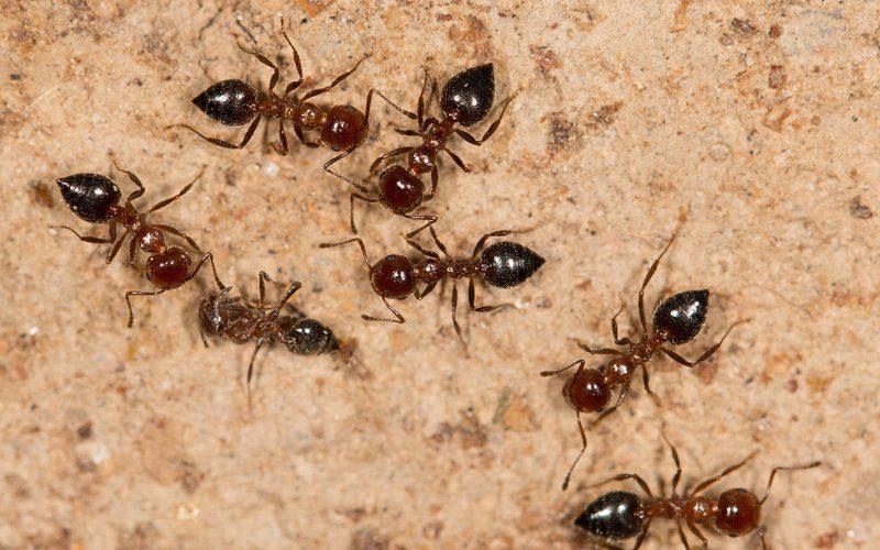 black ants eat termites image