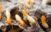 termite myth