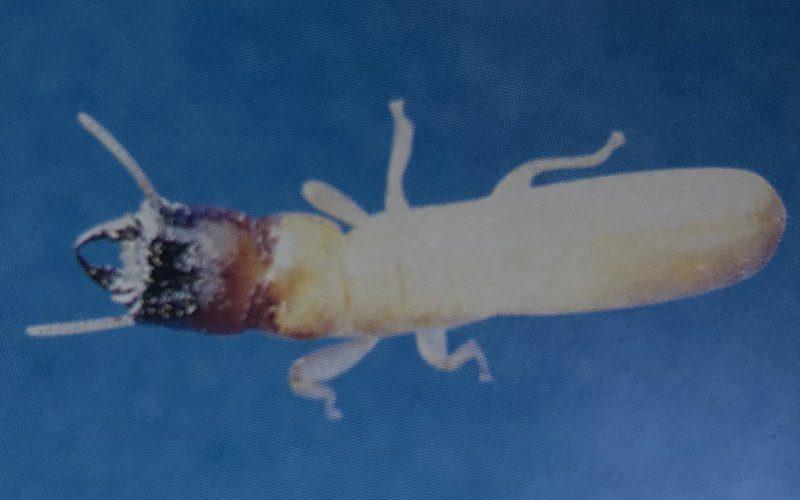 Drywood Termites Identification Overview Pest Ex