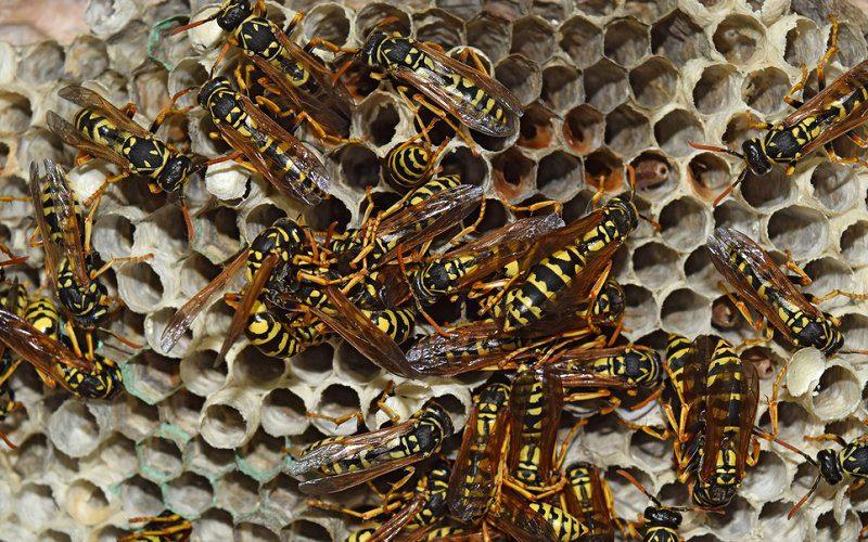 wasps nest pest control image