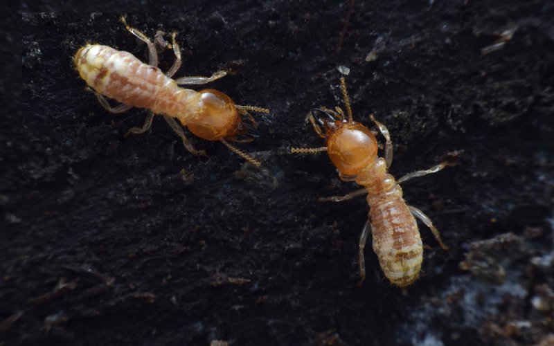What To Do If You Ve Found Termites In Your Yard Or Garden Pest Ex