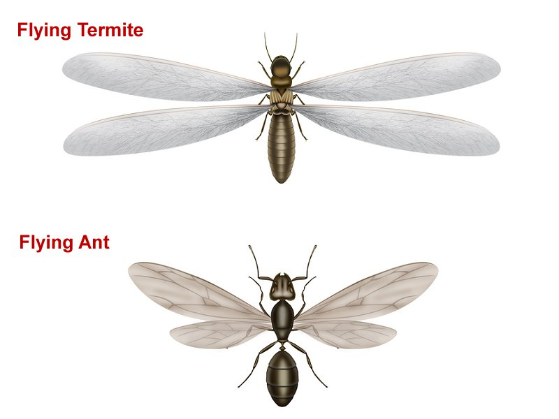 flying termite flying ant difference image