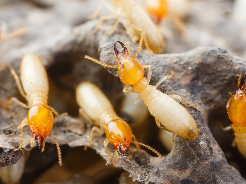 termite flying image