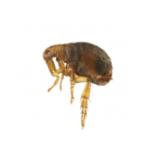 fleas image
