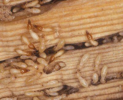 coptotermes termites 2 image