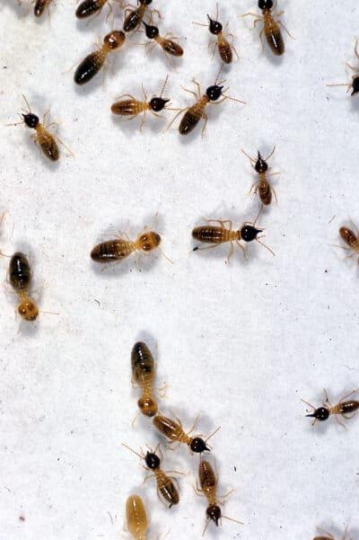 nausutitermes termites image