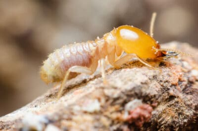 schedorhinotermes termites 831x550 1 image