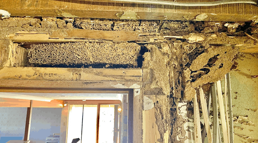 Termites in wall
