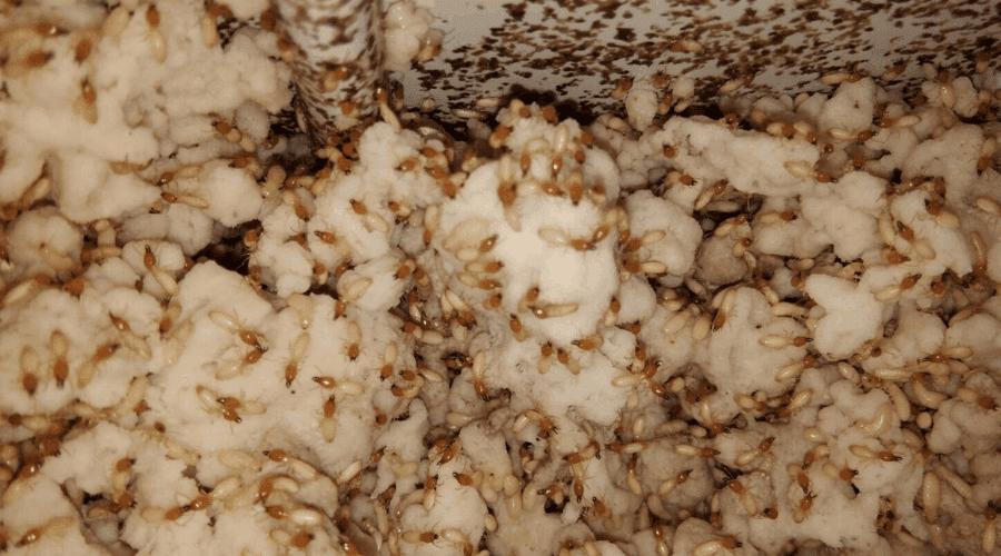 Termite colony in home